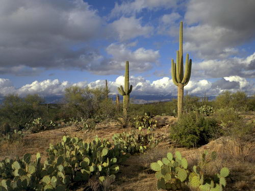 типичный ландшафт пустыни Сонора