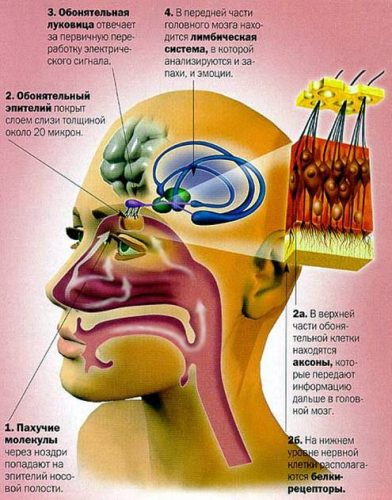 обработка запахов мозгом